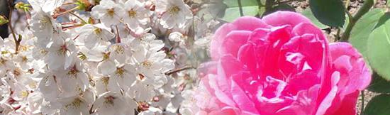 saura&rose.jpg
